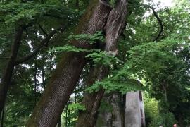 Tilleul_à_grandes_feuilles